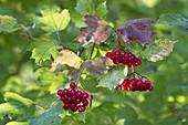 Gemeiner Schneeball, Früchte, Viburnum opulus, Bayern, Deutschland / Viburnum opulus, Bavaria, Germany