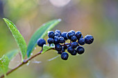 Liguster-Beeren, Gemeiner Liguster, Ligustrum vulgare, Oberbayern, Deutschland / Berries of Ligustrum vulgare, Upper Bavaria, Germany