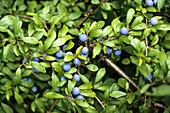Schlehdorn, Schlehe, fruchtend, Prunus spinosa, Deutschland, Europa / Blackthorn, sloe, Prunus spinosa fruiting, Germany, Europe