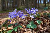 Leberblümchen im Wald, blühend, Hepatica nobilis, Blume des Jahres 2013, Bayern, Deutschland / Liverwort in forest; Hepatica nobilis; blooming, flower of the year 2013, Bavaria, Germany