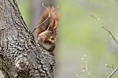 Eichhörnchen in Baum, Sciurus vulgaris, Bayern, Deutschland / Red Squirrel in tree, Sciurus vulgaris, Bavaria, Germany, Europa