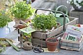 Gartenkorb-Stil mit glatter Petersilie 'Hamburger Schnitt' (Petroselinum)