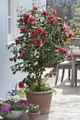 Camellia japonica 'Flame' (Kamelie) mit Farn, Schale mit Primula acaulis
