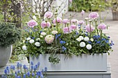 Balkonkasten mit Ranunculus (Ranunkeln), Bellis (Tausendschön)