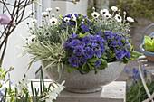 Graue Schale mit Primula Belarina 'Amethyst Ice' (Gefuellten Primeln)