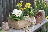 Spankorb mit Primula veris (Schluesselblumen, Himmelschlüssel)