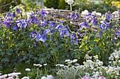 Aquilegia caerulea 'Blue Star' (Akelei) im Beet vor Weidengeflecht