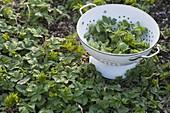Junge Blätter vom Giersch (Aegopodium podagraria) als Salat ernten