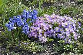 Hyacinthus orientalis (Hyazinthen) und Primula juliae (Kissenprimel)