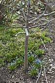 Scilla (Blausternchen) unter jungem Apfelbaum