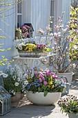 Bunte Fruehlingsterasse mit Tulipa 'Early Glory' (Tulpen), Myosotis 'Myomark'