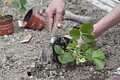 Mischkultur - Beet mit Erdbeeren und Zwiebeln pflanzen