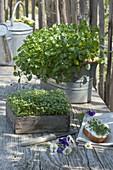 Gartenkresse, Kresse (Lepidium sativum) in Holzkiste und Brunnenkresse