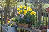 Narcissus 'Yellow River' (Narzissen), Ranunculus (Ranunkeln), Myosotis