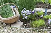 Schnittlauch und Hornveilchen im Biogarten