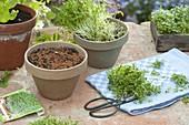 Kresse (Lepidium sativum) leicht im Topf zu ziehen