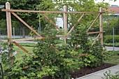 Blühende Brombeeren (Rubus fruticosus) an Holzspalier im gemulchten Beet