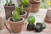 Sedum mit Blattstecklingen vermehren