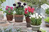 Tulipa 'Paul Scherer' schwarzrot , 'Carola' rot-pink , 'Red Paradise' rot, 'Cal