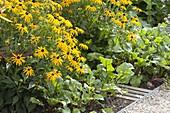 Rudbeckia fulgida 'Goldsturm' (Sonnenhut) und Rote Bete (Beta vulgaris)