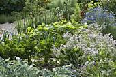 Gemüsegarten mit Knollensellerie (Apium graveolens), Borretsch (Borago)