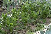 Knollensellerie (Apium graveolens) im Biogarten