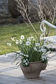 Narcissus poeticus (Dichternarzisse) in Terracotta - Taschenamphore