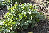 Knoblauchsrauke (Alliaria petiolata) im Garten