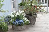 Blau-weisser Fruehlingskorb : duftende Narcissus 'Thalia' (Narzisssen), Arabis