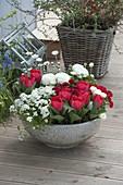 Graue Schale mit Tulipa 'Red Paradise' (Tulpen), Arabis 'Alabaster'