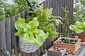 Korbkasten mit Salat (Lactuca), Zitronenthymian (Thymus citriodorus)