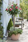Rosa 'Chippendale' (Nostalgierose) unterpflanzt mit Thymian (Thymus)