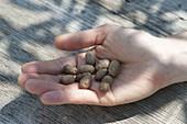 Lichtwurzelknoellchen (Dioscorea batata) in Hand