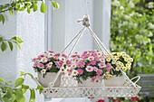 Tablett aufgehängt als Ampel mit Argyranthemum frutescens