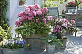 Rhododendron 'Milano' (Alpenrose), Hosta 'Wide Brim' 'Blue Angel' (Funkien)