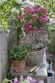 Rosa (Zwergrose) und Salbei 'Tricolor' 'Berggarten' (Salvia officinalis)