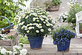 Argyranthemum 'Stella 2000' (Margerite), Lobelia 'Hot Bavaria'