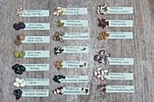 Tableau mit verschiedenen Bohnen - Sorten und Arten