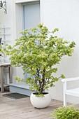 Acer palmatum 'Sangokaku' (Japanischer Fächerahorn)