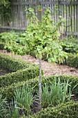 Johannisbeer - Stämmchen (Ribes rubrum) im Bauerngarten