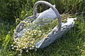 Korb mit frisch geernteter Kamille (Matricaria chamomilla)