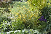 Kerria japonica 'Plena' (Ranunkelstrauch) zwischen Stauden im Beet