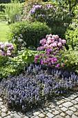 Beet mit Ajuga reptans (Günsel), Hosta (Funkien), Rhododendron