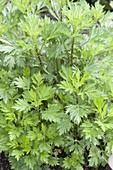 Gewöhnlicher Beifuß oder Gemeiner Beifuß (Artemisia vulgaris)