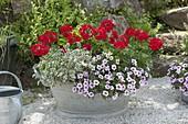 Pelargonium 'Caliente Deep Red' (Geranien), Calibrachoa 'Dream Kisses