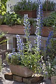 Echium vulgare (Natternkopf) blüht von Mai bis Oktober