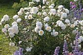 Rosa 'Crocus Rose' - Englische Rose - bis 130 cm hoch köstlicher Duft