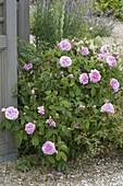 Rosa 'Comte de Chambord' (Portlandrose), oefterbluehend, stark duftend