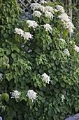 Blühende Hydrangea petiolaris (Kletterhortensie)