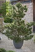 Pinus austriaca (Schwarzkiefer) im Stile von Zen-Gärten geschnitten